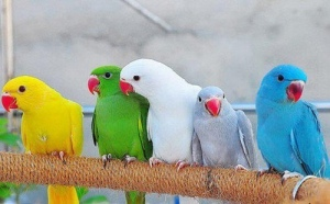 Psittacula_krameri_-colour_mutations_-pets-8a